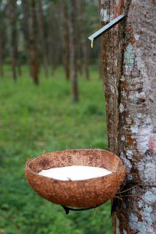 V-образный надрез на стволе дерева Гевея